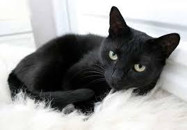 تفسير حلم القطة السوداء في المنام