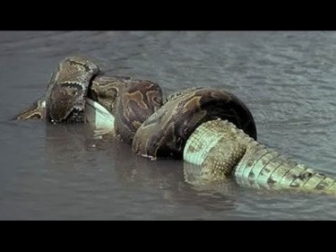 تفسير حلم تمساح يأكل ثعبان في المنام