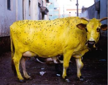 تفسير حلم البقرة الصفراء في المنام