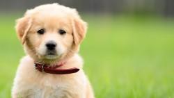 تفسير حلم الكلب الصغير في المنام
