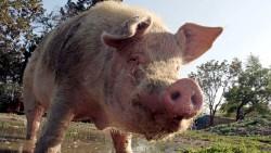 تفسير حلم هجوم الخنزير في المنام